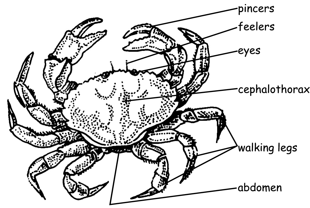 Diagram Of Crab - Library Of Wiring Diagram •