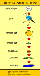 illustration of Biomagnification