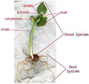 Anatomy of dicotyledonous plants By OpenStax | QuizOver.com