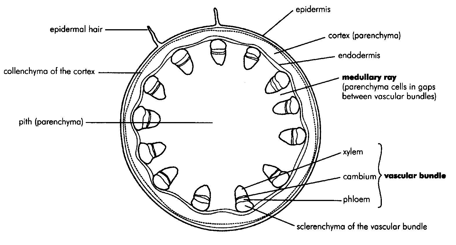 Internal Structure Of The Dicotyledonous Stem By Openstax Page 36