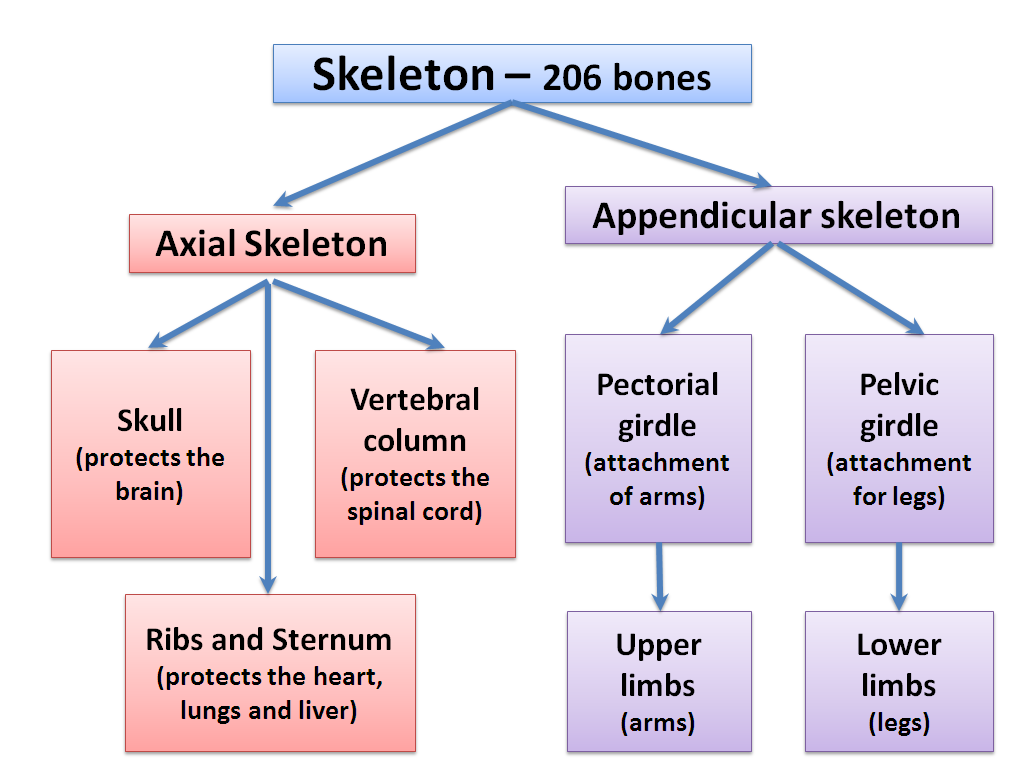 graphics4 appendicular skeleton, 2 2 2 human skeleton, by openstax (page 2 4