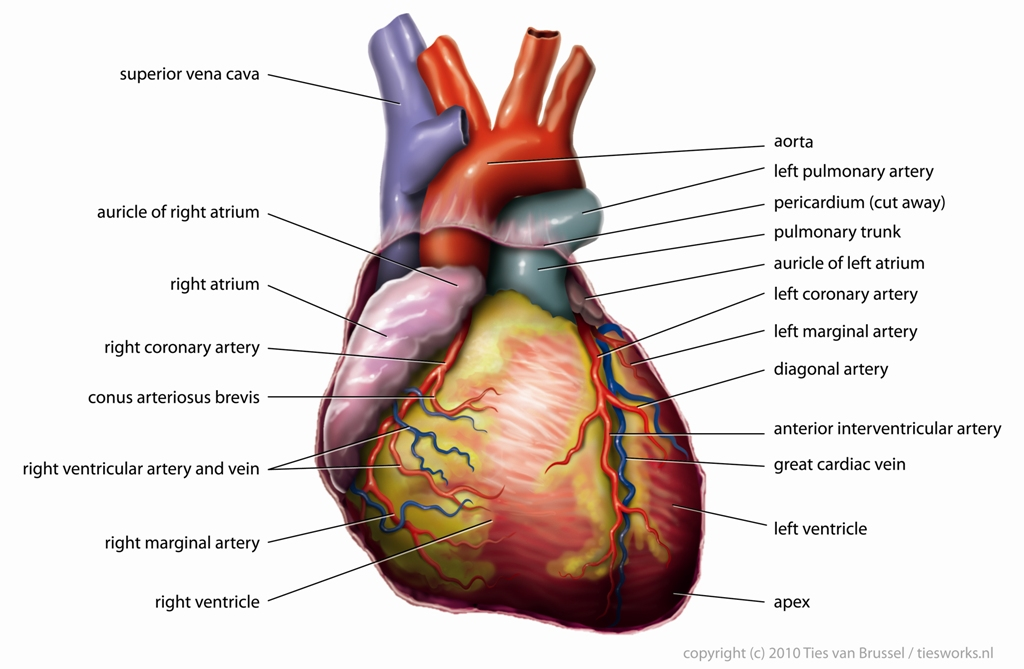 The Heart And Associated Blood Vessels By Openstax Page 28