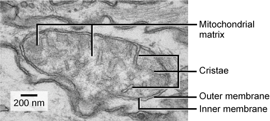 Animal cells versus plant cells by openstax page 434 quizover this transmission electron micrograph of a mitochondrion shows an oval outer membrane and an inner membrane ccuart Gallery