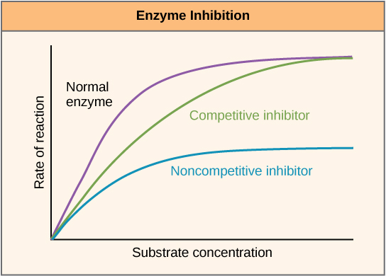 This plot shows rate of reaction versus substrate concentration for an enzyme in the absence of inhibitor, and for enzyme in the presence of competitive and noncompetitive inhibitors. Both competitive and noncompetitive inhibitors slow the rate of reaction, but competitive inhibitors can be overcome by high concentrations of substrate, whereas noncompetitive inhibitors cannot.