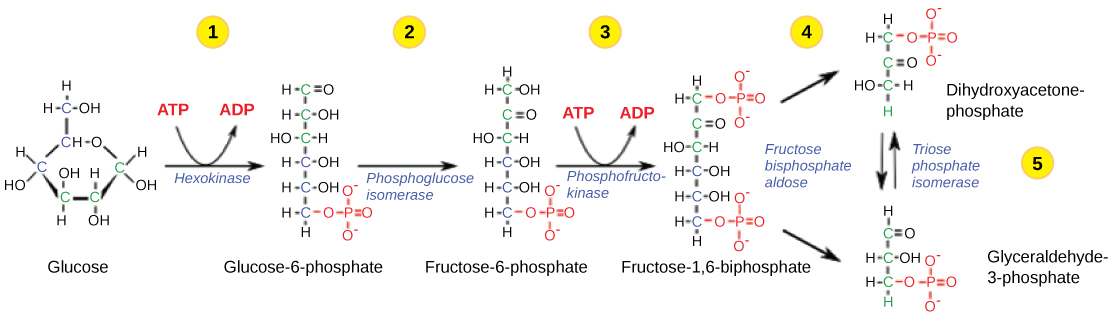 Second half of glycolysis energy releasing steps by openstax page this illustration shows the steps in the first half of glycolysis in step one ccuart Image collections