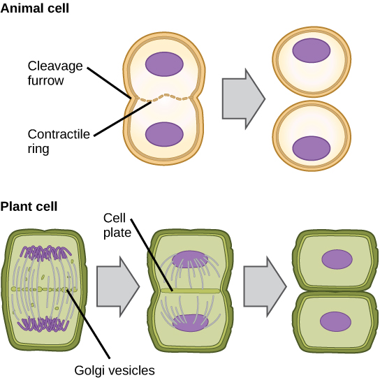 102 the cell cycle cell reproduction by openstax page 440 part a this illustration shows cytokinesis in a typical animal cell part b ccuart Images