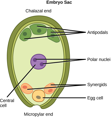 Sexual reproduction in gymnosperms by openstax page 430 art connection ccuart Image collections