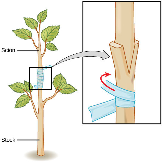 Illustration shows the trunk of a sapling, which has been split. The upper part of a different sapling is wedged into the split and taped so that the two parts can grow together.