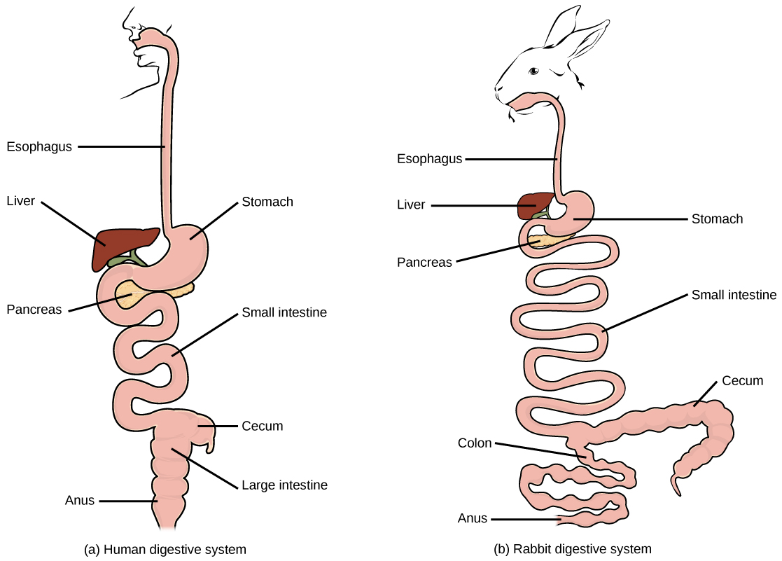 Avian digestive systems by openstax page 347 quizover the basic components of the human and rabbit digestive system are the same each begins ccuart Choice Image