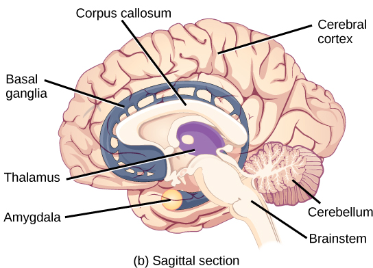 Limbic system the central nervous system by openstax page 437 limbic system the central nervous system by openstax page 437 quizover ccuart Gallery