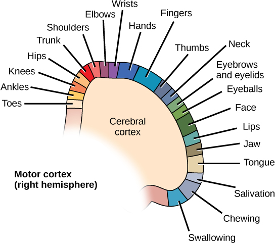 Basal ganglia the central nervous system by openstax page 337 diagram shows the location of motor control for various muscle groups on the right hemisphere cerebral ccuart Image collections