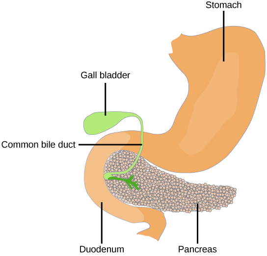 Pancreas, Endocrine glands, By OpenStax (Page 4/32)   QuizOver.com