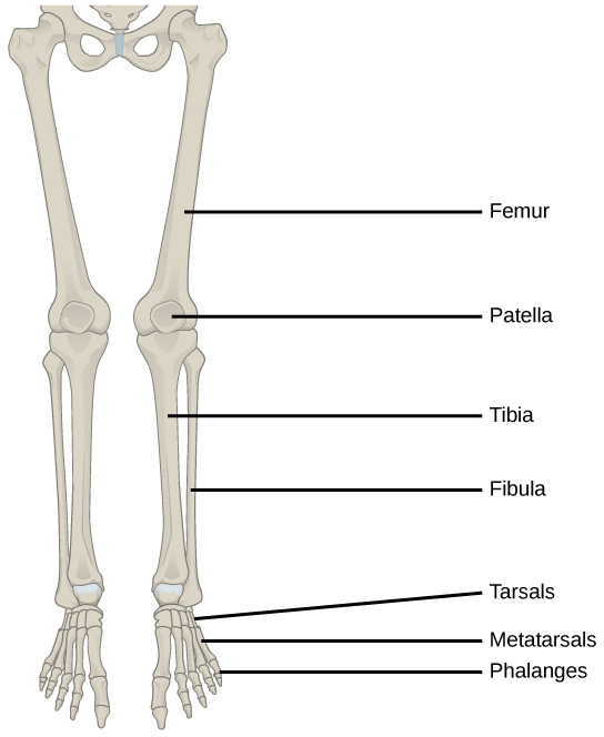 The Lower Limb Types Of Skeletal Systems By Openstax Page 547