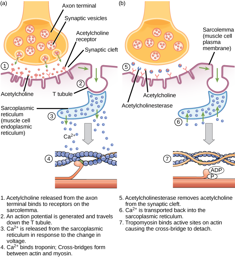 There are four steps in the start of a muscle contraction. Step 1: Acetylcholine released from synaptic vesicles in the axon terminal binds to receptors on the muscle cell plasma membrane. Step 2: An action potential is initiated that travels down the T tubule. Step 3: Calcium ions are released from the sarcoplasmic reticulum in response to the change in voltage. Step 4: Calcium ions bind to troponin, exposing active sites on actin. Cross-bridge formation occurs and muscles contract. Three additional steps are part of the end of a muscle contraction. Step 5: Acetylcholine is removed from the synaptic cleft by acetylcholinesterase. Step 6: Calcium ions are transported back into the sarcoplasmic reticulum. Step 7: Tropomyosin covers active sites on actin preventing cross-bridge formation, so the muscle contraction ends.