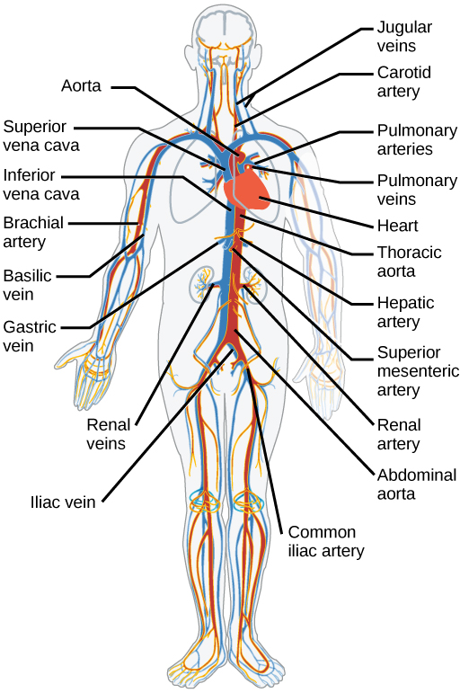 Section Summary Mammalian Heart And Blood Vessels By Openstax