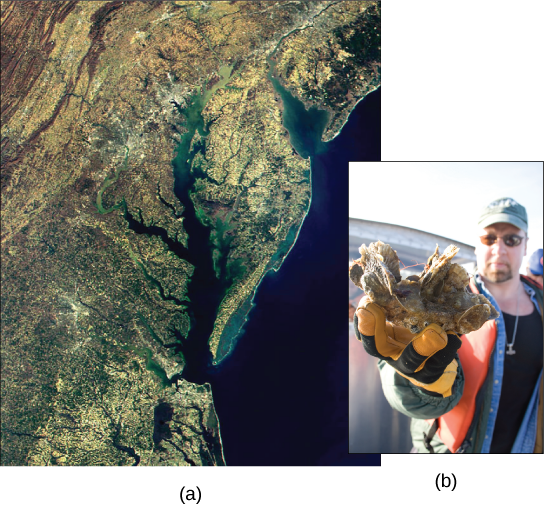 Satellite image shows the Chesapeake Bay. Inset is a photo of a man holding a clump of oysters.
