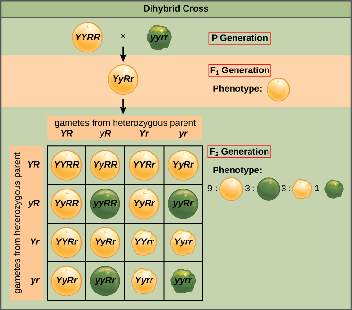 This illustration shows a dihybrid cross between pea plants. In the P generation, a plant that has the homozygous dominant phenotype of yellow, round peas is crossed with a plant with the homozygous recessive phenotype of green, wrinkled peas. The resulting F_{1} offspring have a heterozygous genotype and yellow, round peas. Self-pollination of the F_{1} generation results in F_{2} offspring with a phenotypic ratio of 9:3:3:1 for round–yellow, round–green, wrinkled–yellow, and wrinkled–green peas, respectively.