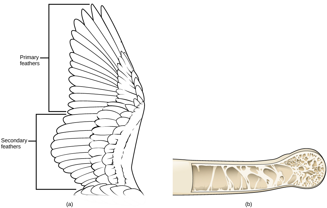 Anatomy Of A Bird Wing Images - human body anatomy