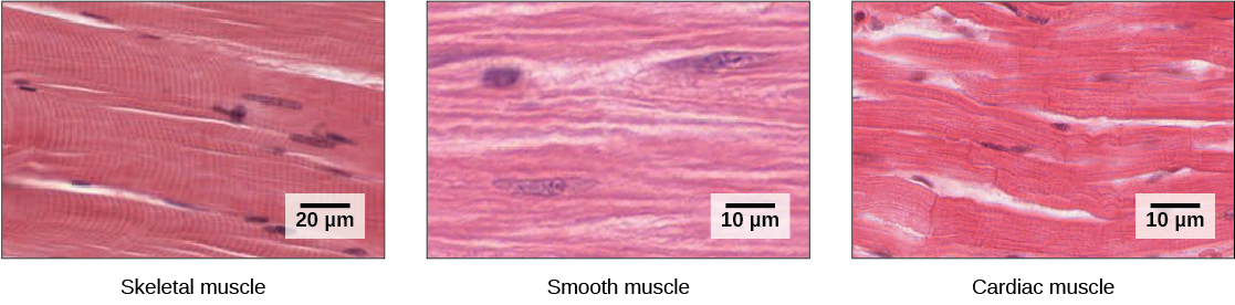 Skeletal Muscle Fiber Structure And Function By Openstax Page 430