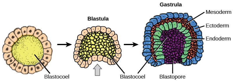 Illustration shows a series of 3 steps in the formation of a blastula to a gastrula. The first step is a hollow ball of cells. In the second step, one section of the cells in the hollow ball starts to indent into the cavity, like when a hand is pushed into a balloon. In the third step, this section has indented all the way into the cavity, forming a 3 layered cup with a small opening called the blastopore. The three  layers of the cup are the ectoderm on the outside, the mesoderm in the middle, and the endoderm on the inside.
