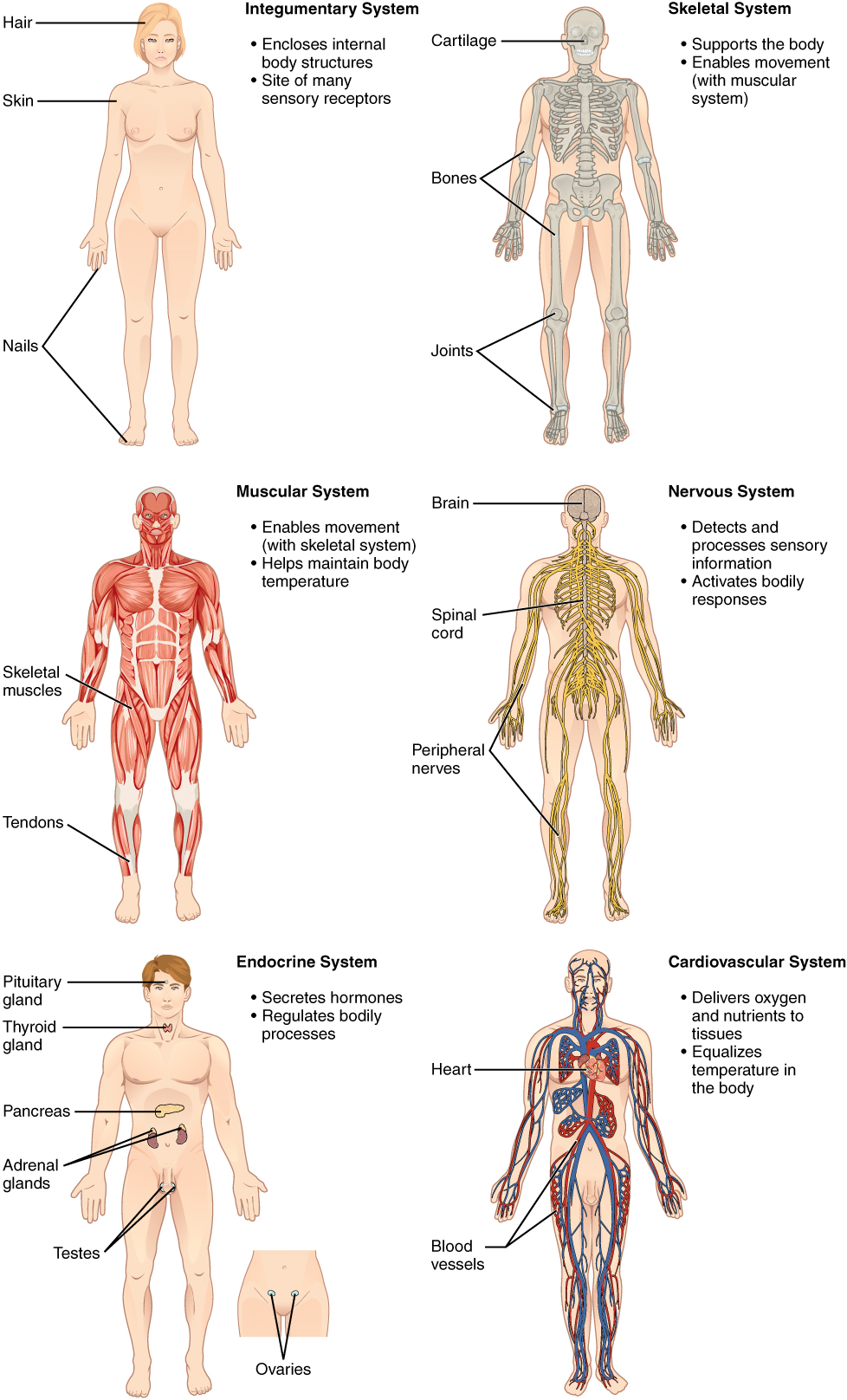 Chapter review, Structural organization of the human body, By ...