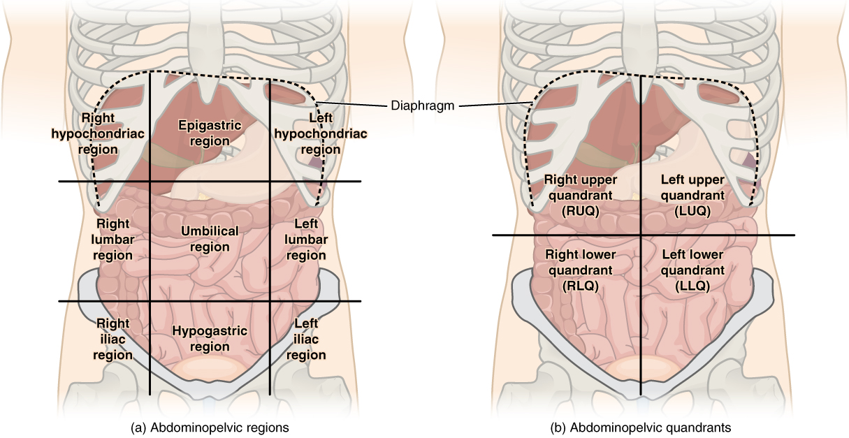 Abdominal regions and quadrants by openstax page 344 quizover this illustration has two parts part a shows the abdominopelvic regions these regions divide ccuart Choice Image
