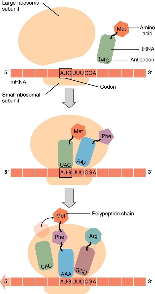 From rna to protein: translation By OpenStax (Page 3/28) | QuizOver.com