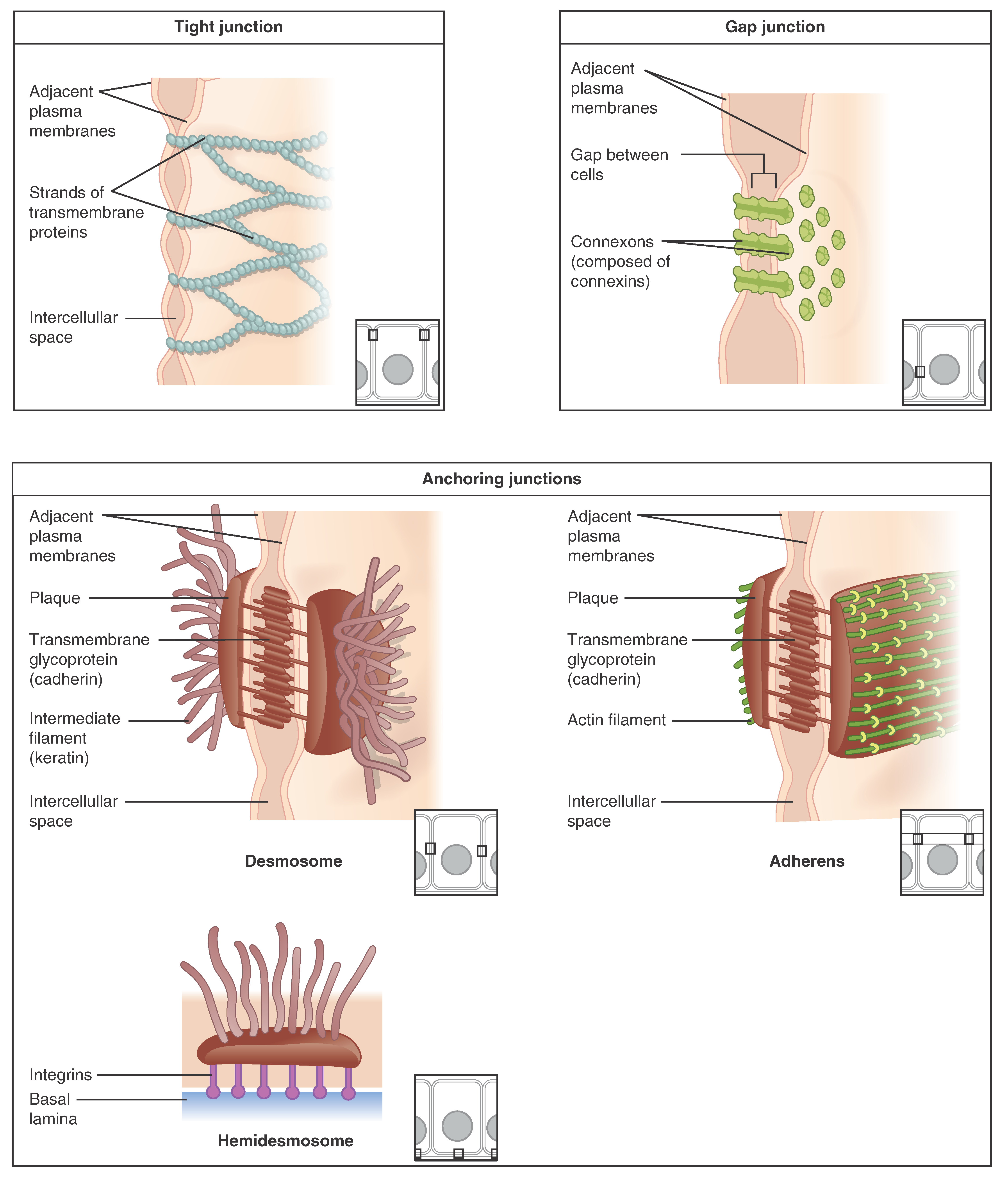 Chapter review, Epithelial tissue, By OpenStax (Page 6/37 ...