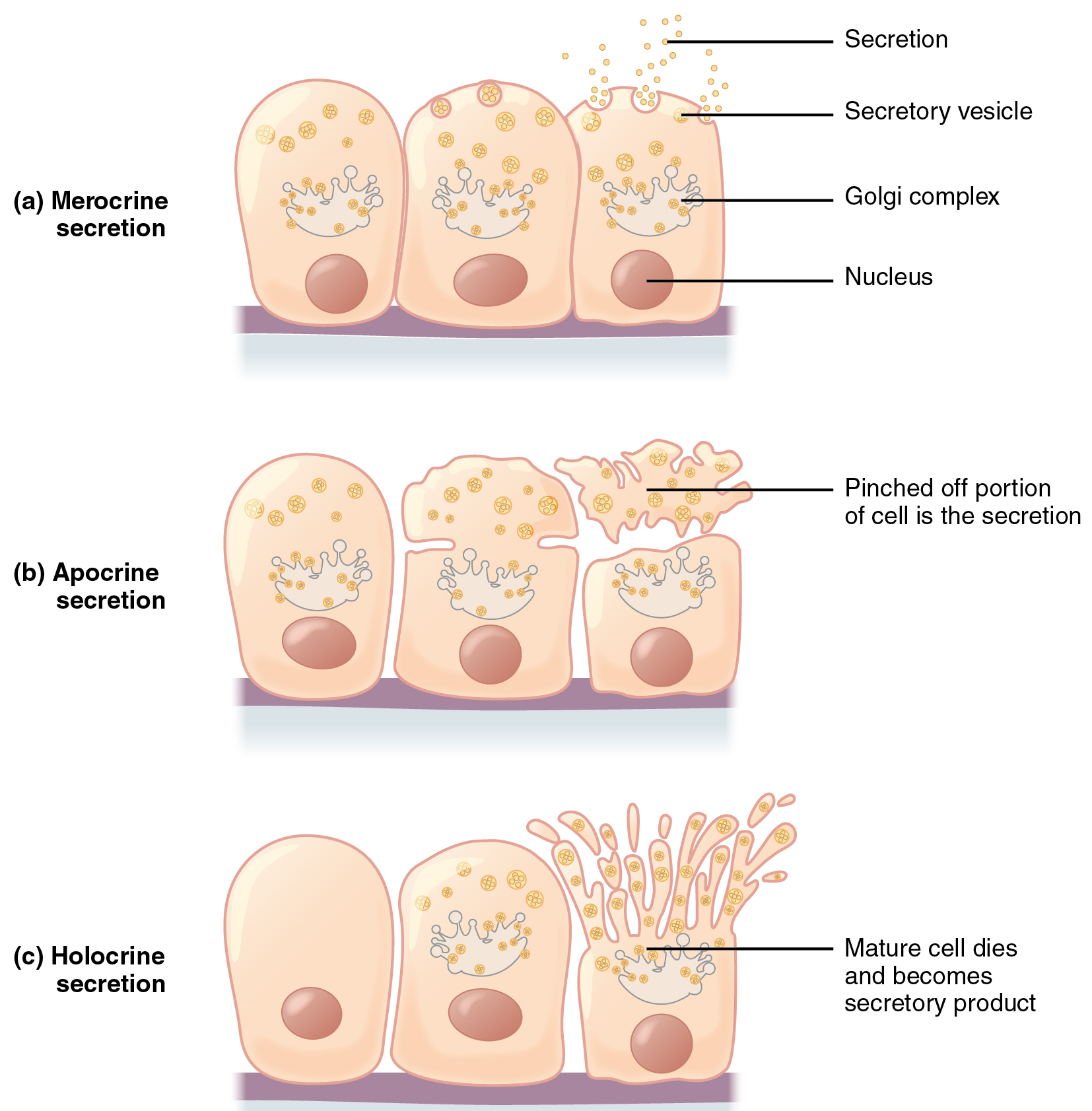 Interactive Link Questions Epithelial Tissue By Openstax Page 6