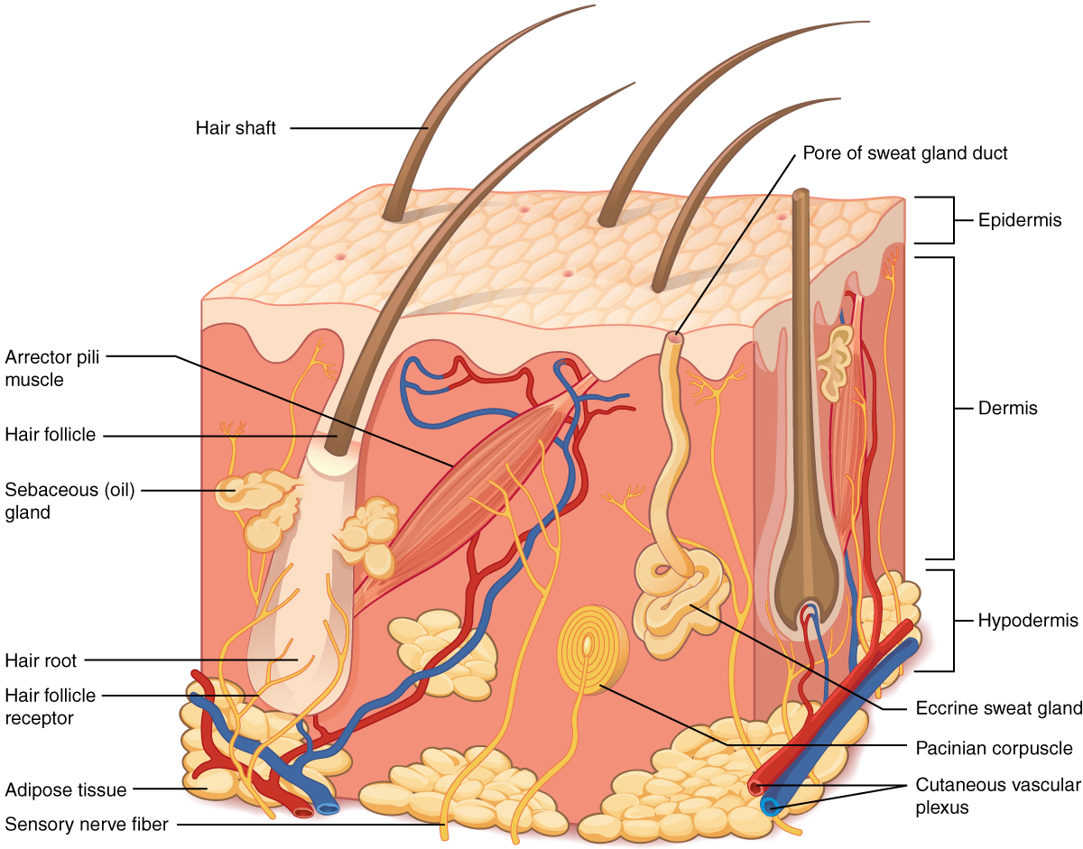 5.1 Layers of the skin, The integumentary system, By OpenStax ...