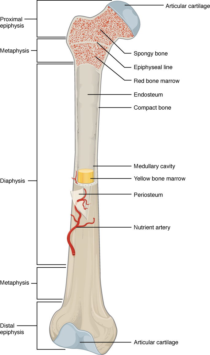 Gross anatomy of bone, Bone structure, By OpenStax | QuizOver.com