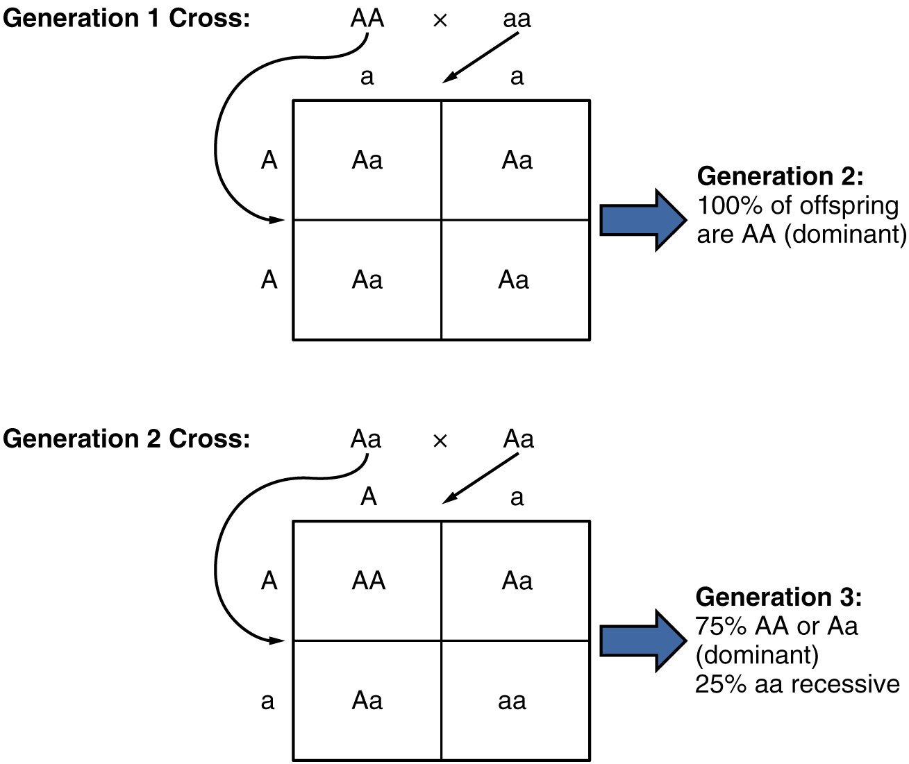 Autosomal dominant inheritance by openstax page 435 quizover this diagram shows the genetics experiment conducted by mendel the top panel shows the offspring ccuart Choice Image