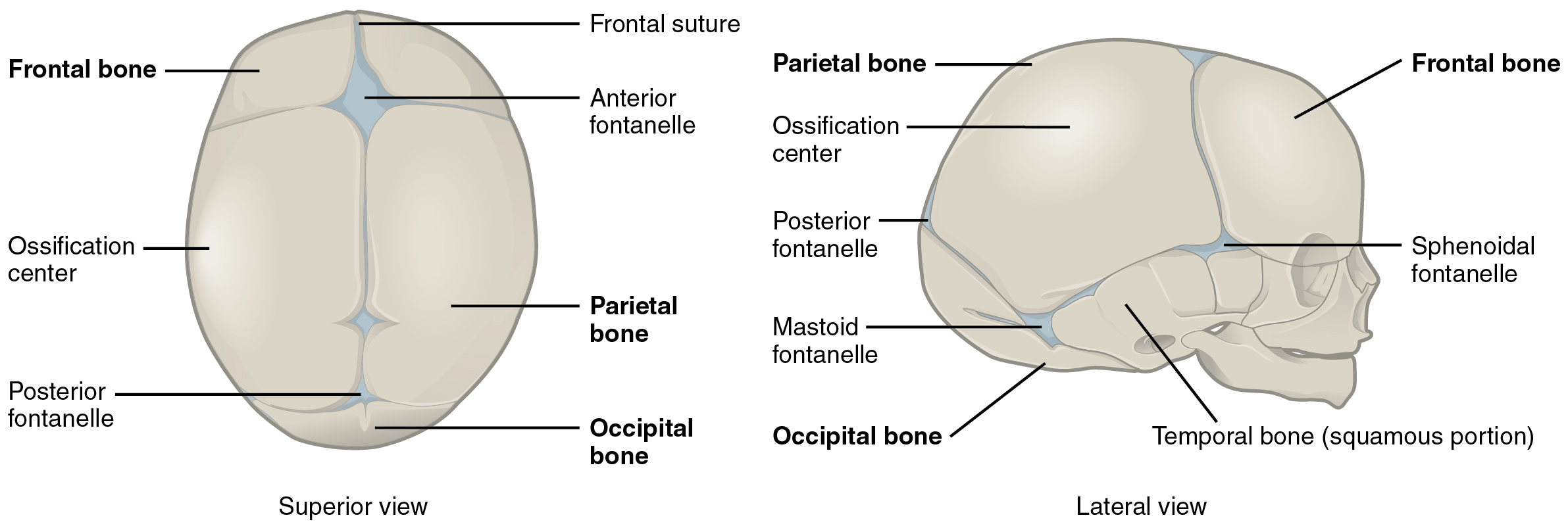 Development Of The Vertebral Column And Thoracic Cage By Openstax