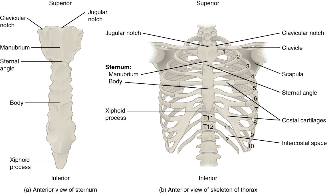 This figure shows the skeletal structure of the rib cage. The left panel shows the anterior view of the sternum and the right panel shows the anterior panel of the sternum including the entire rib cage.