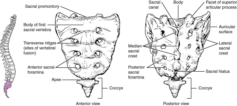 Intervertebral disc, The vertebral column, By OpenStax (Page 6/66 ...