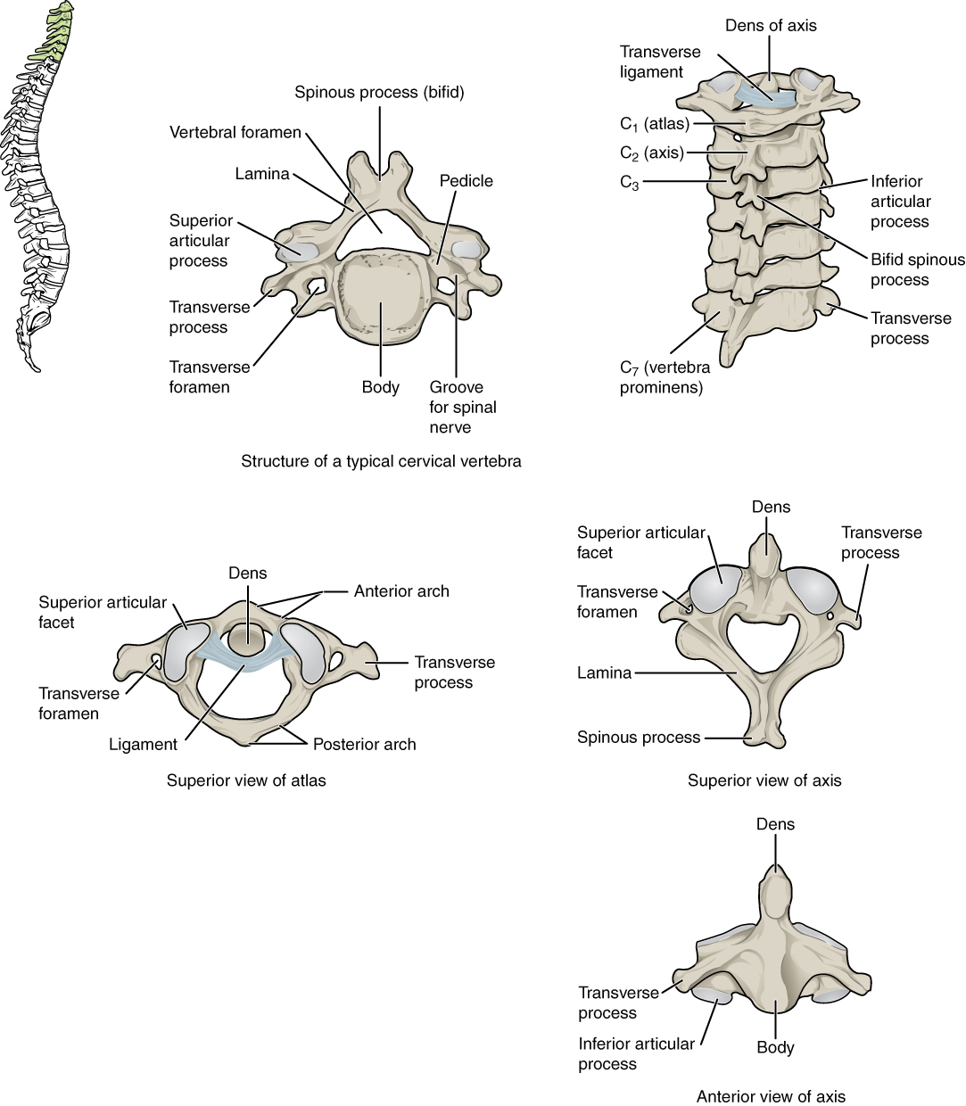 Thoracic Vertebrae The Vertebral Column By Openstax Page 566
