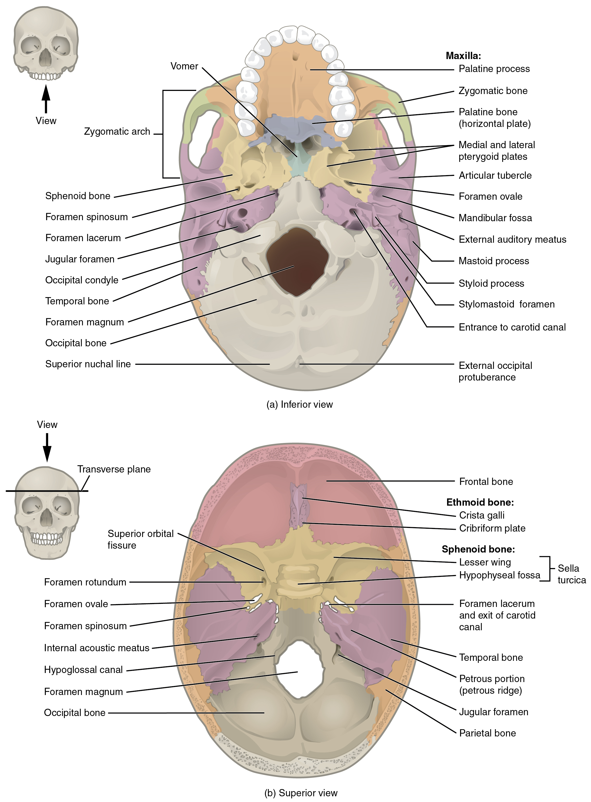 Sphenoid Bone The Skull By Openstax Page 4120 Quizover