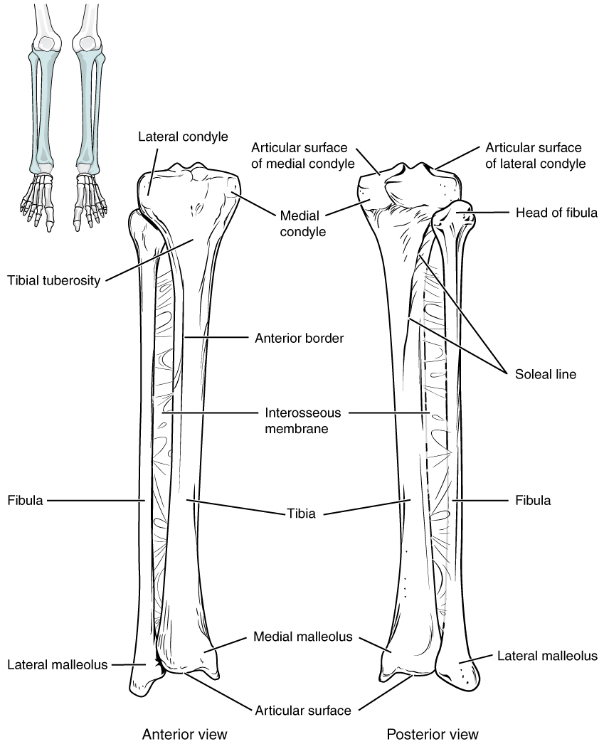Tibia, Bones of the lower limb, By OpenStax (Page 3/73) | QuizOver.com