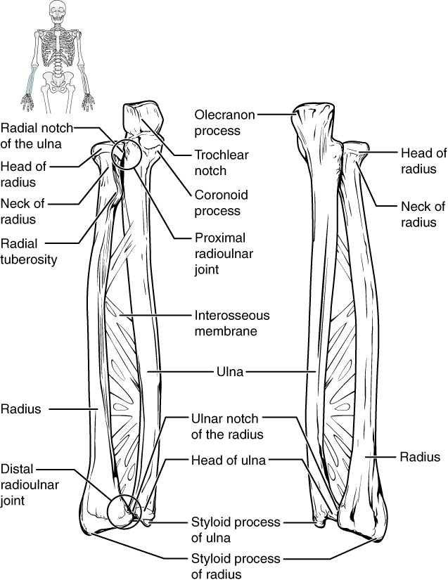 Ulna Bones Of The Upper Limb By Openstax Page 276 Quizover