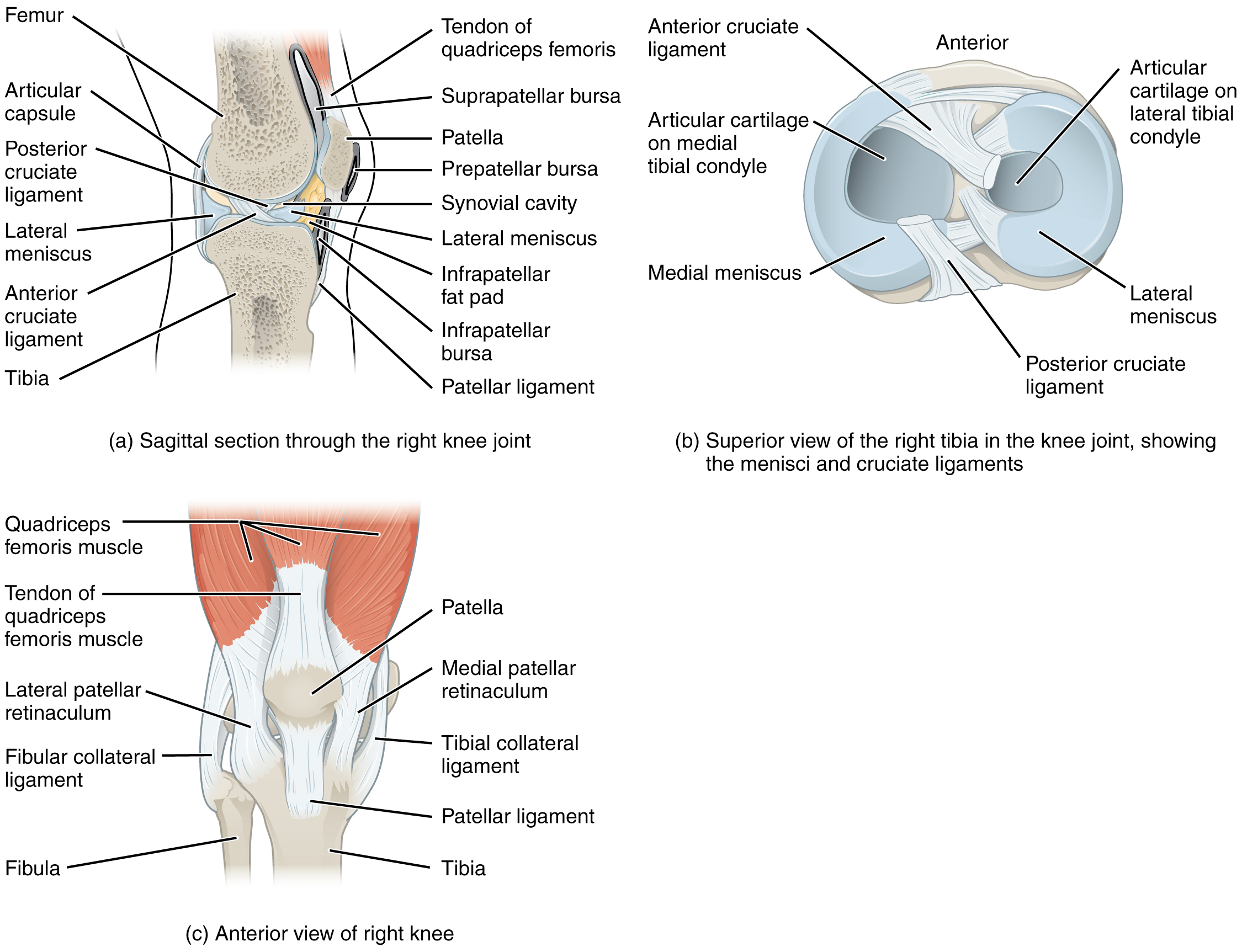 Which statement is true concerning the knee joint by openstax which statement is true concerning the knee joint by openstax quizover ccuart Choice Image
