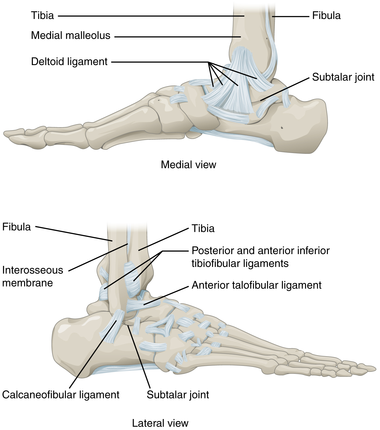 Ankle and foot joints, Anatomy of selected synovial joints, By ...