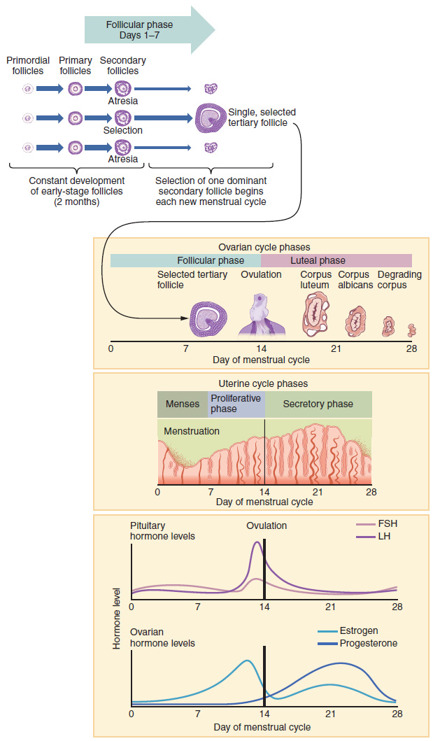 Proliferative phase, Anatomy and physiology of the female, By ...