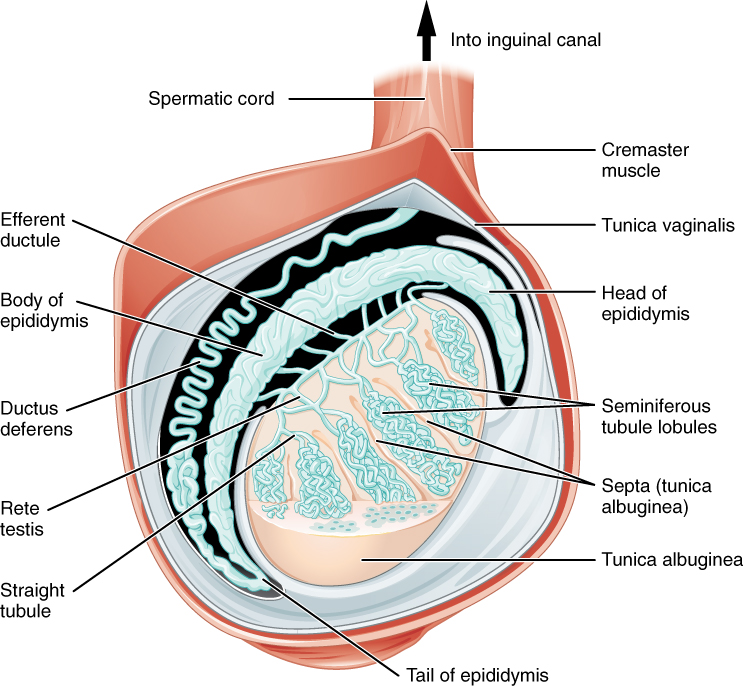 Sertoli cells, Anatomy and physiology of the male reproductive, By ...