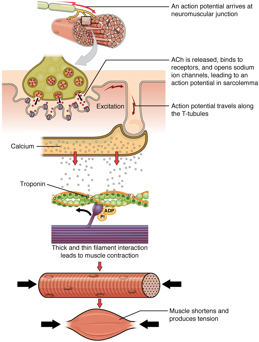 The top panel in this figure shows the interaction of a motor neuron with a muscle fiber and how the release of acetylcholine into the muscle cells leads to the release of calcium. The middle panel shows how calcium release activates troponin and leads to muscle contraction. The bottom panel shows an image of a muscle fiber being shortened and producing tension.
