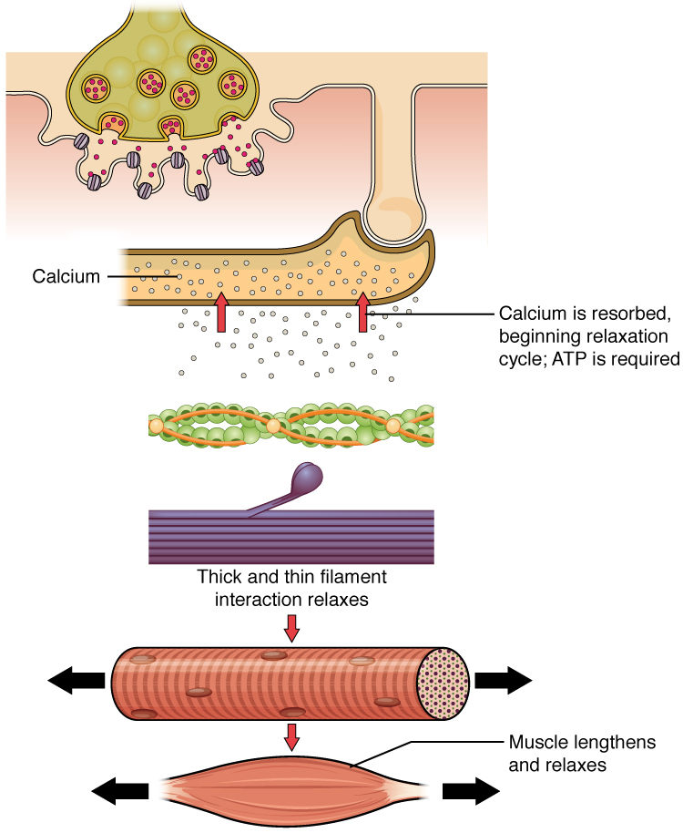 The top panel in this figure shows the interaction of a motor neuron with a muscle fiber and how calcium is being absorbed into the muscle fiber. This results in the relaxation of the thin and thick filaments as shown in the bottom panel.