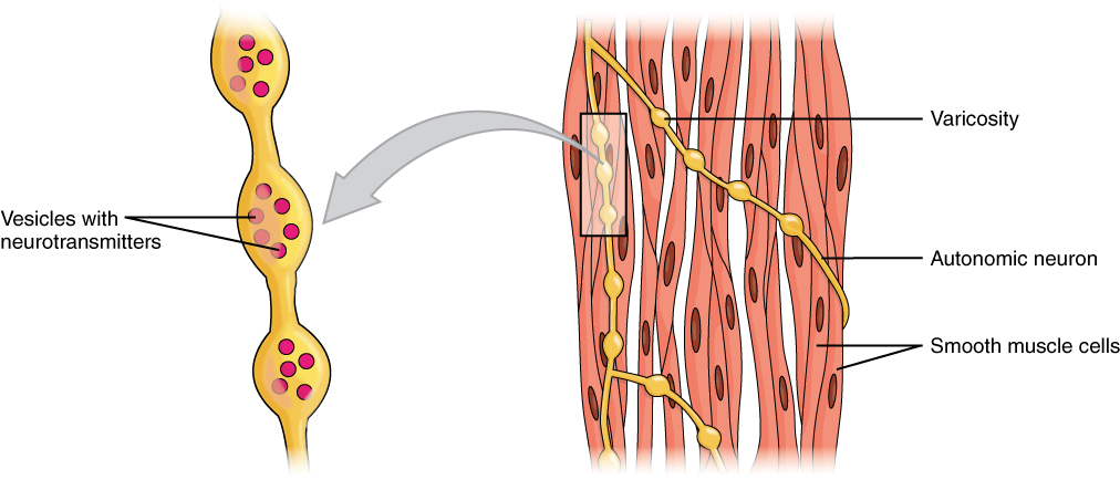 In this figure, the left panel shows a neuron with vesicles containing neurotransmitters. The right panel shows a bundle of smooth muscle cells with neurons wound around them.