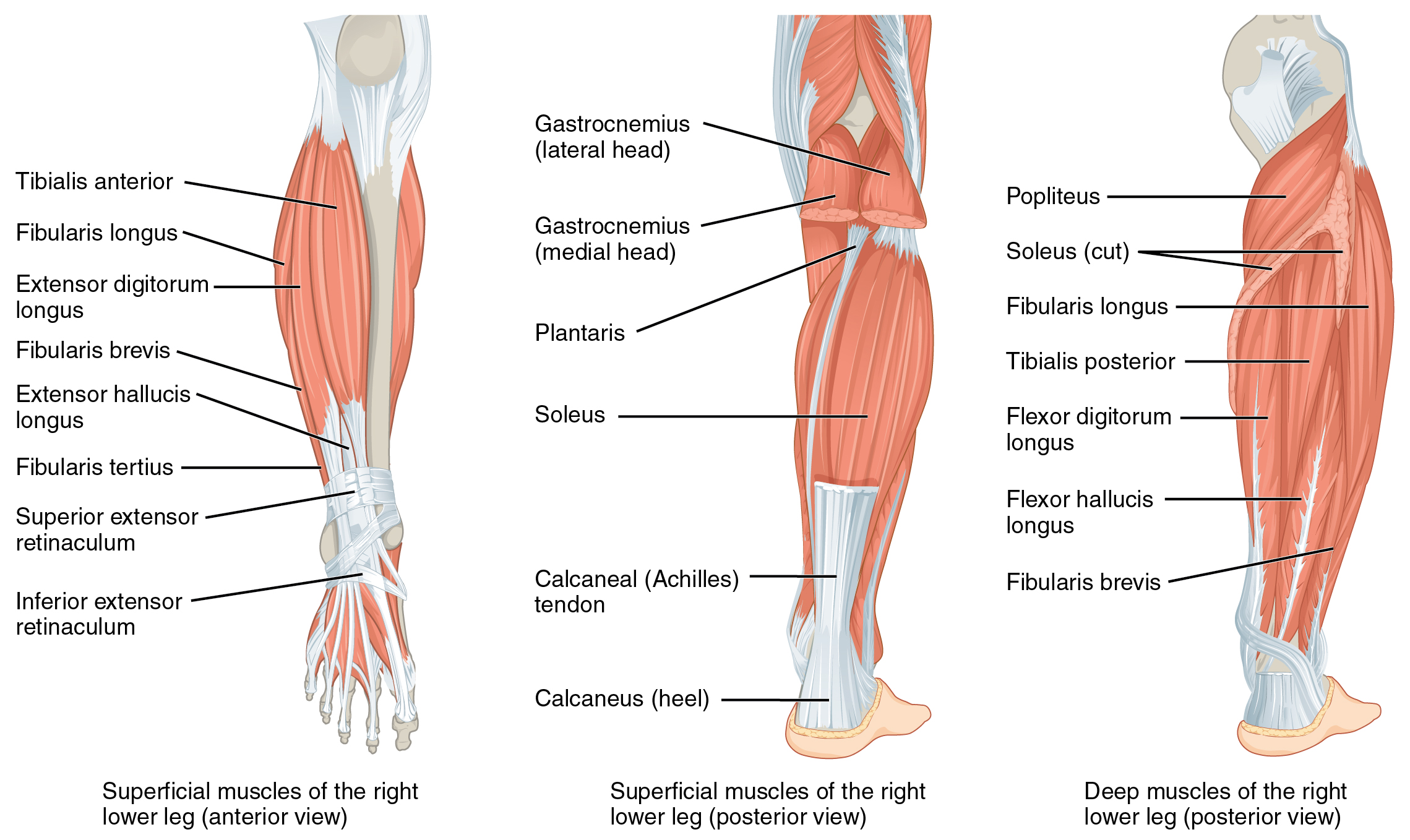 Muscles that move the feet and toes By OpenStax (Page 2/70 ...