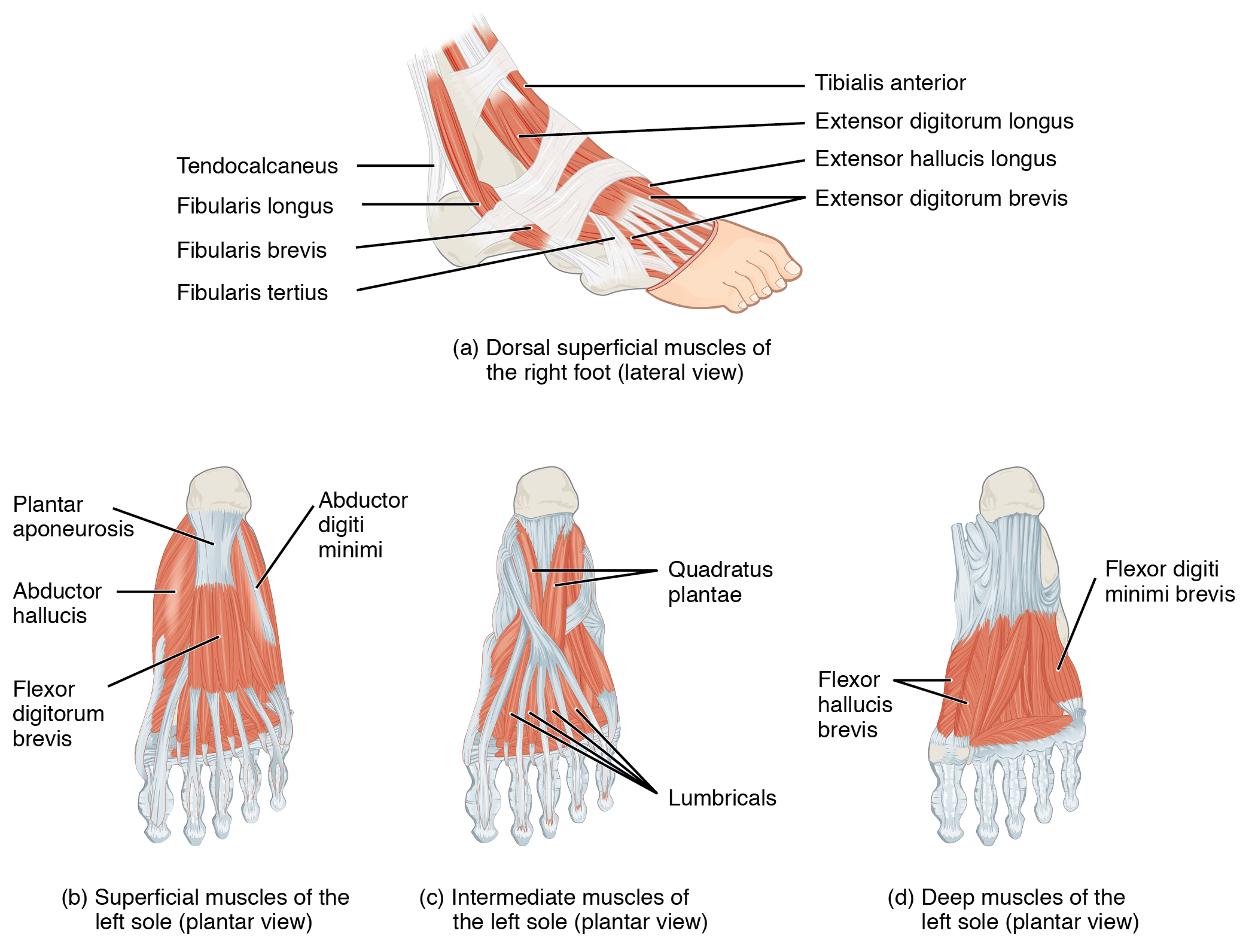 Chapter Review Appendicular Muscles Of The Pelvic Girdle By