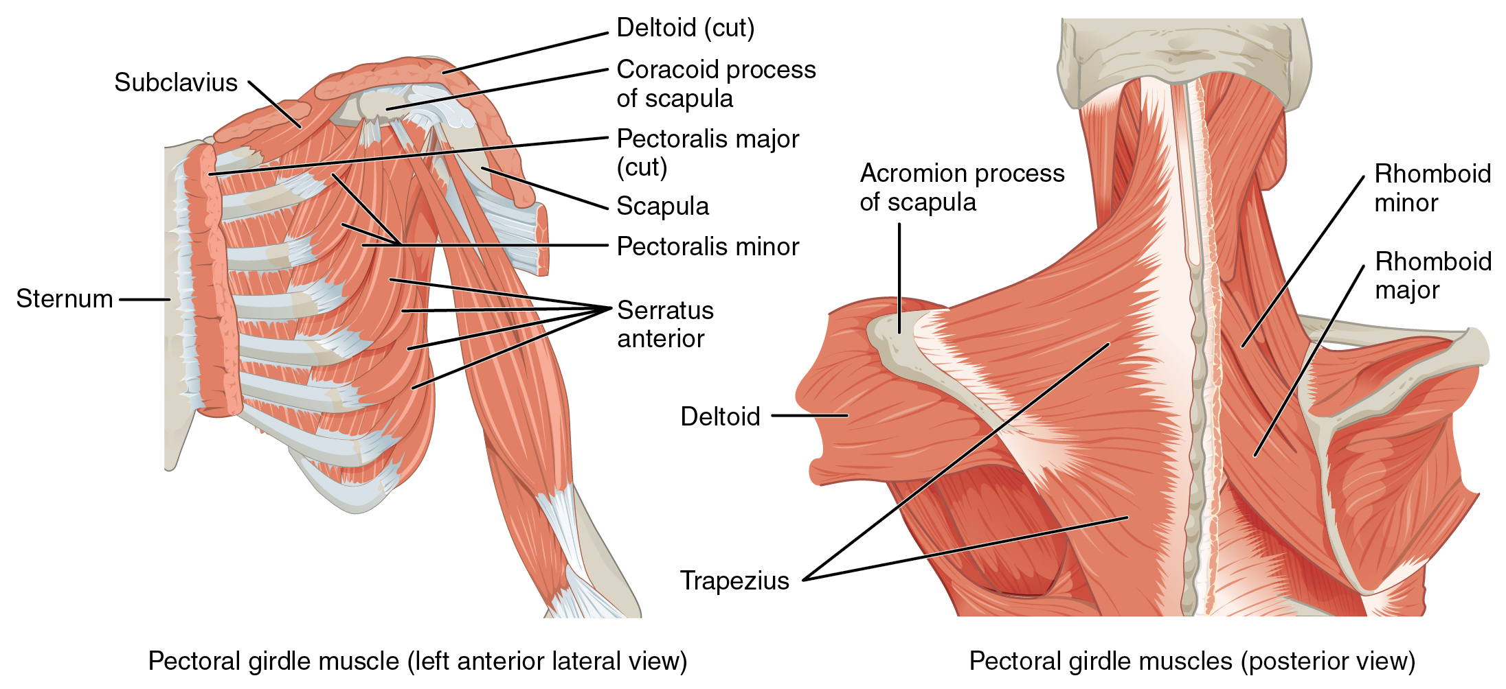 11.5 Muscles of the pectoral girdle and upper limbs By OpenStax ...