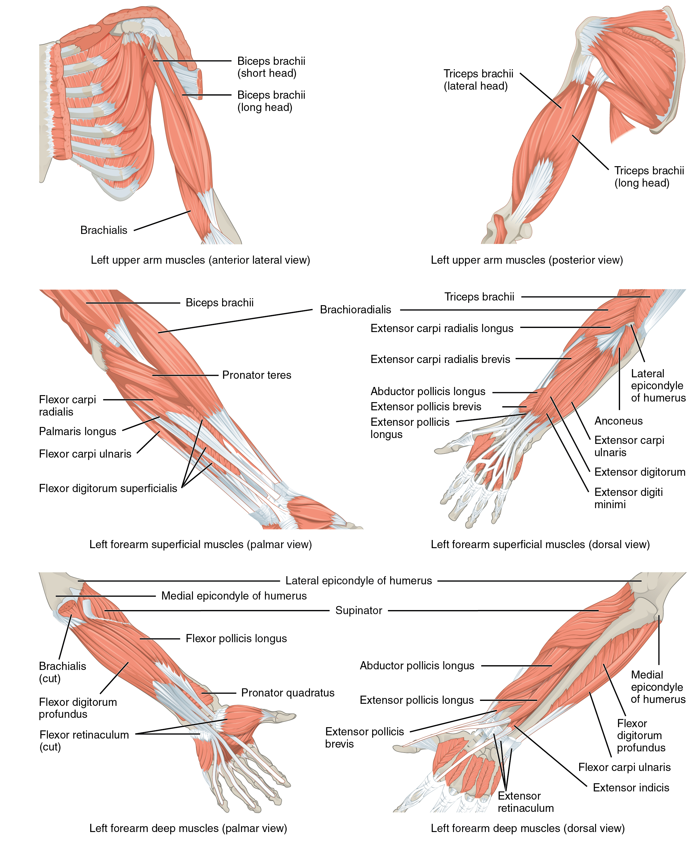 Muscles of the arm that move the wrists, hands, and By OpenStax ...